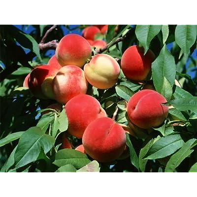 SD0531 Peach Seeds, Autumn Red Peach Fruit Seeds, Peach Tree Seed (10 Seeds) : Fruit Plants : Garden & Outdoor