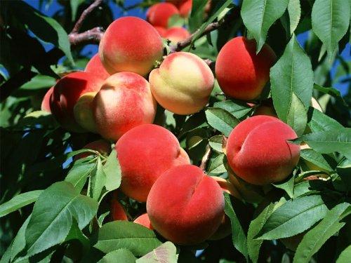 SD0531 Peach Seeds, Autumn Red Peach Fruit Seeds, Peach Tree Seed (10 Seeds) (Grow A Peach Tree From The Seed)