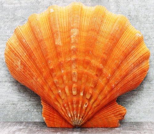 - Orange Lion's Paw Scallop Seashell 5-6