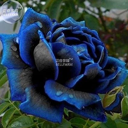 Amazon Com New Midnight Supreme Dark Blue Rose Bush Flower Seeds