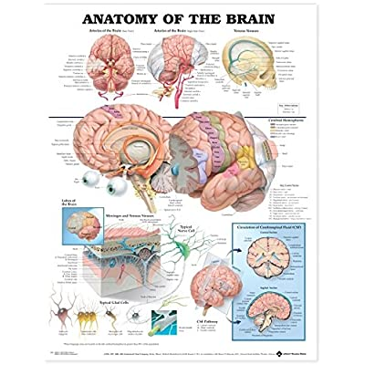 Anatomy of The Brain Anatomical Chart: Anatomical Chart Company: Office Products