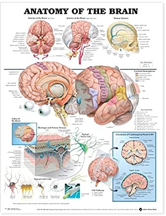 Gráfico anatómico The Anatomy of the Brain (laminado)