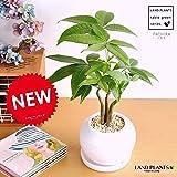 LAND PLANTS パキラ 卓上サイズ 白色丸型陶器鉢 3本株立ち