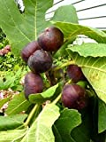 Fig Trees''Chicago Hardy'' Includes Four (4) Plants