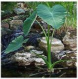 GEOPONICS Colocasia esculenta 'Ruffles' (Elephant Ear) Pond or Soil Plant Bulb