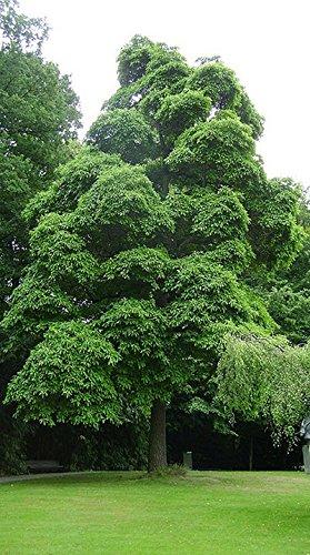 Sassafras Tree Sassafras albidum Heavy Established Roots 2 Trade Gallon Pot - 1 plant by Growers Solution