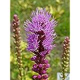 100 Seeds, Liatris Spicata Blazing Star Gayfeather Flowers