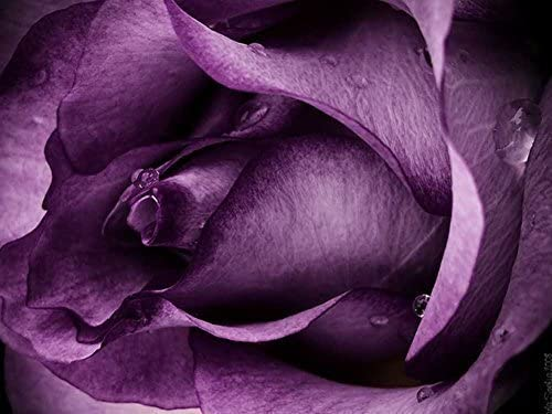 "Purple Rose Close up 24x36/"""