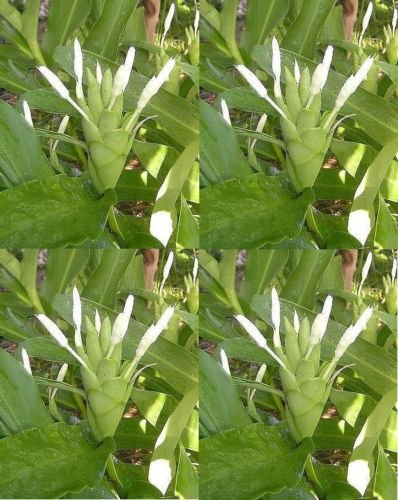 Amazon 3 Bulbs Rhizomes Hedychium Coronarium White Ginger