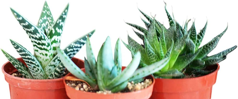 Amazon Com 3 Different Aloe Plants Easy To Grow Hard To Kill