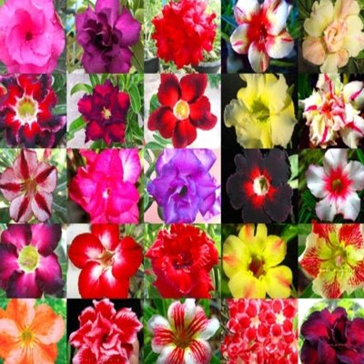 DESERT ROSE ADENIUM OBESUM Bonsai mixed colors 50 seeds by Tropical Oasis