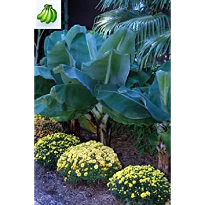 Musa little prince live Banana plant fruit tree: Grocery & Gourmet Food