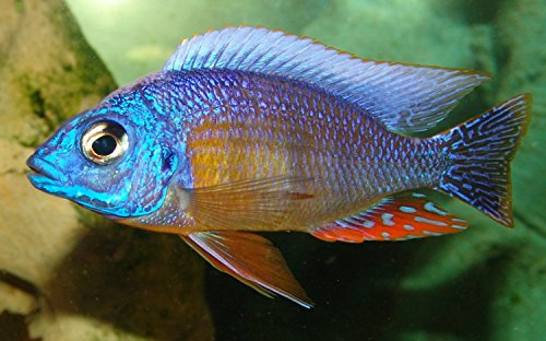 Taiwan Reef (Golden Glove Fishery Taiwan Reef Cichlid- African Cichlid)