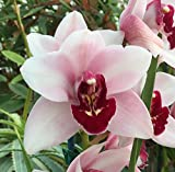 Orchid Insanity – Cymbidium Kaylie 'Momo' – perfect pink blooms with full red lip, lots of flowers, vigorous grower, ideal beginners orchid