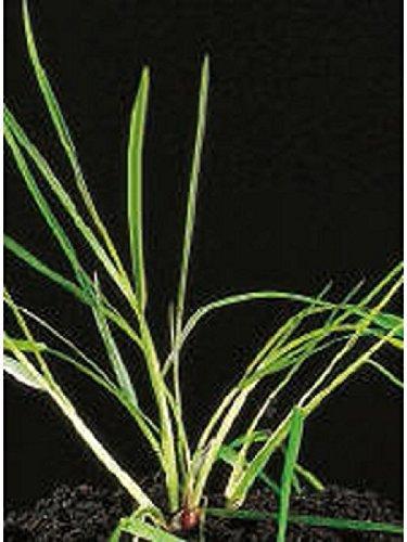 Deutsches Weidelgras lolium perenne 1kg Kiepenkerl - Rasen