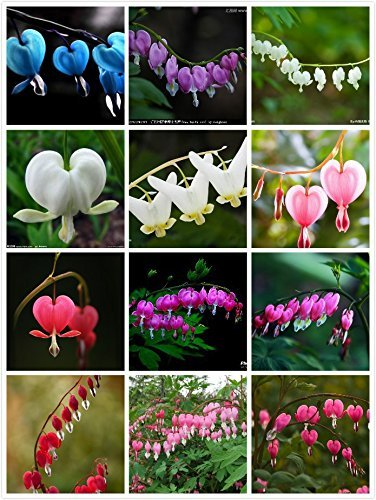 Amazon 100 dicentra spectabilis seeds bleeding heart classic 100 dicentra spectabilis seeds bleeding heart classic cottage garden plant heart shaped flowers in mightylinksfo