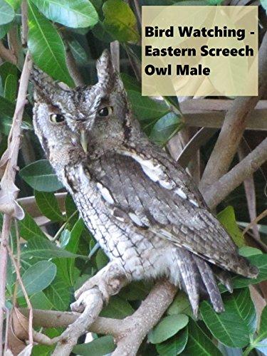 Bird Watching - Eastern Screech Owl Male