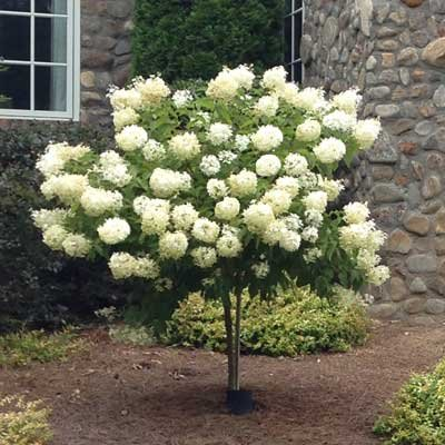Limelight Hydrangea Tree by Brighter Blooms (Image #4)