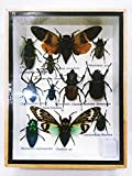 Real Rare 2 Cicada And Mixs Rare Insect Taxidermy Set In Boxes Display For Collectibles