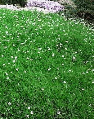 Moss Irish Seeds Sagina Subulata 50 seeds S0865 Gardener/'s dream