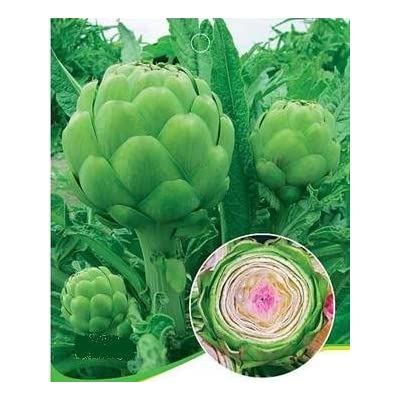 SD0217 Green Artichokes Vegetable Seeds, Heirloom Vegetable Seeds, Guaranteed Live Vegetable Seeds, 60-Days (20 Seeds) : Vegetable Plants : Garden & Outdoor