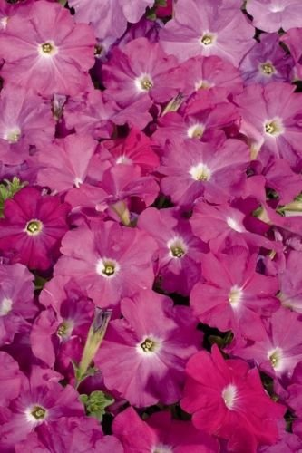 - 50 Seeds of Freedom Rose Pelleted Petunia