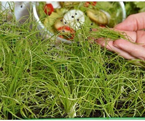 Microgreens - Cebolla de invierno - hojas jóvenes con un sabor ...