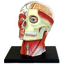 John N. Hansen Tedco Human Anatomy-Human Head Model