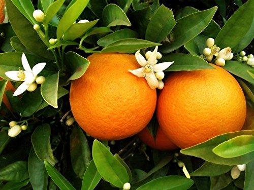 washington-navel-orange-semi-dwarf-fruit-tree-aka-citrus-washington-navel-patio-tree-live-plant-fit-