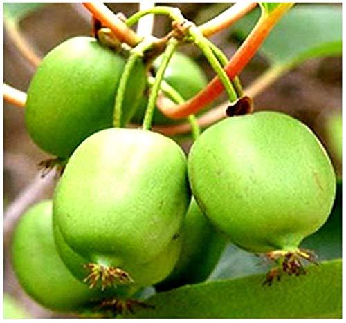 Big Pack - (2,000) Hardy Kiwi - actinidia arguta Seed - Perennial Vine Native to Korea, Northern China, and Russian Siberia - by MySeeds.Co (Big Pack - Kiwi Hardy)