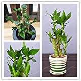 Care Health - 50 Pcs/Pack Lotus Bamboo Bonsai Potted Balcony Lucky Plants Beautiful for DIY Home Garden Household Plant (It is Seed not Plant) - by Abuldahi