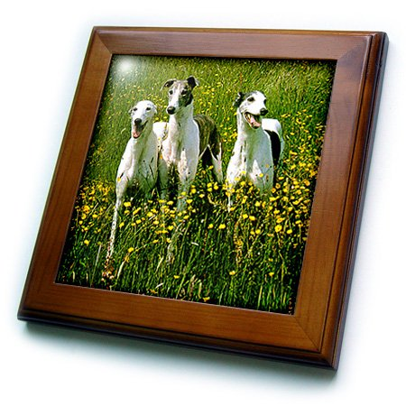 Dogs Greyhound - Greyhound - 8x8 Framed Tile (ft_483_1)