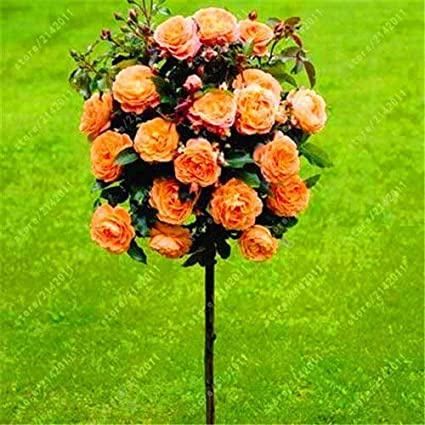 Amazon Com 12 100pcs Bag Rose Tree Rose Seeds Bonsai Flower Seeds Tree Seeds Chinese Roses 18 Colors Give Lover Plant For Home Garden Garden Outdoor