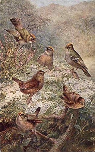 Common Wren, Gold Crested Wren, Fire Crested Wren Birds Original Vintage (Salmon Crested)