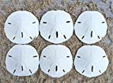 "Sand Dollar | Real Sand Dollars 2 1/2""-3"" (Set of 6) 