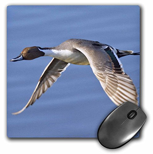 (3dRose LLC 8 x 8 x 0.25 Inches Mouse Pad, Male Northern Pintail Duck in FlightAna's AcuteBolsa Chica Wetlands, California (mp_45717_1))