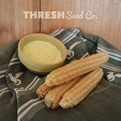 Rhode Island White Cap Flint Corn - 50 Seeds