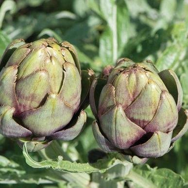 Opera Artichoke Seeds (Cynara scolymus) 5+ Rare Seeds + FREE Bonus 6 Variety Seed Pack - a $29.95 Value! Packed in FROZEN SEED CAPSULES for Growing Seeds Now or Saving Seeds For Years: Amazon.es: Jardín