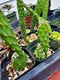 3 Opuntia Microdasys Monstose Crazy Bunny Cactus Pads
