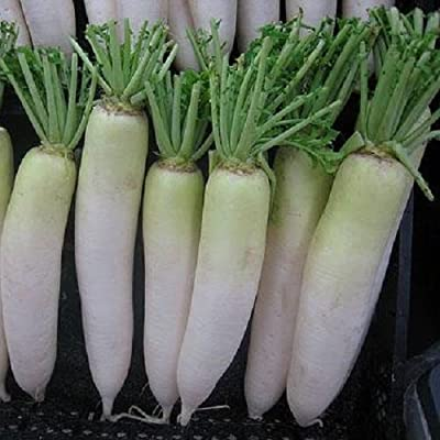 100 Seeds of Raphanus Sativus - Chinese Daikon Radish Oshin - 60 Days. Green Neck Type Reaching 2 Lbs!