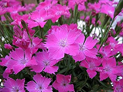 "DIANTHUS - KAHORI - 4 PLANTS - 2"" POTS - LARGER PLANTS - GROUND COVER - Zone 3"