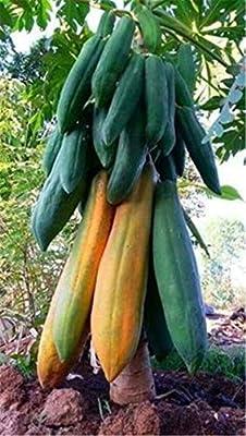 Plentree Big Papaya Seed Semente De Frutas Tropicais Garden Supplies 20 Pcs Bonsai Plant