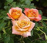 Cutie Pie Miniature Patio Rose Bush - Bareroot