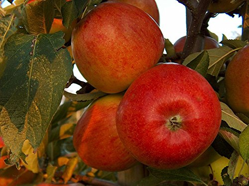 'Braeburn' Apple Tree 4-5 ft Self-Fertile,Ready to Fruit,Crisp & Aromatic beechwoodtrees 3fatpigs®