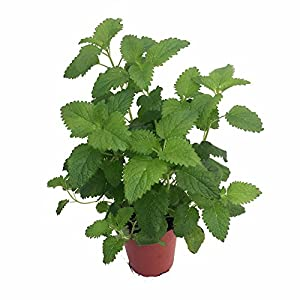 catnip plant nepeta inside or outside 3 pot patio lawn garden. Black Bedroom Furniture Sets. Home Design Ideas