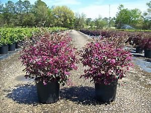 Amazon loropetalum zhuzhou plant pink flowers purple leaves loropetalum zhuzhou plant pink flowers purple leaves upright growth easy to grow mightylinksfo Gallery