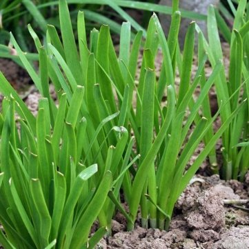 100pcs Garden Chinese Chives Vegetable Seeds Perennial Herbaceous Plant