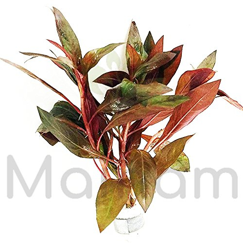 - Mainam Ludwigia Peruensis Diamond Red Star Ludwigia Bundle Freshwater Live Aquarium Plant Fish Tank Decoration 3 Days Live Guaranteed