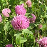Outsidepride Red Clover Seed: Nitro-Coated, Inoculated - 1/4 LBS