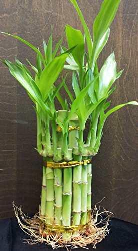 2 Tier Lucky Bamboo - 6'' & 4'' Lucky Bamboos in 2 Tiers - Feng Shui-jmbamboo by JM BAMBOO